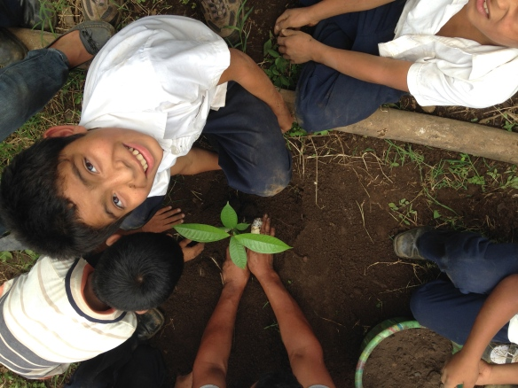 Cocao tree planting